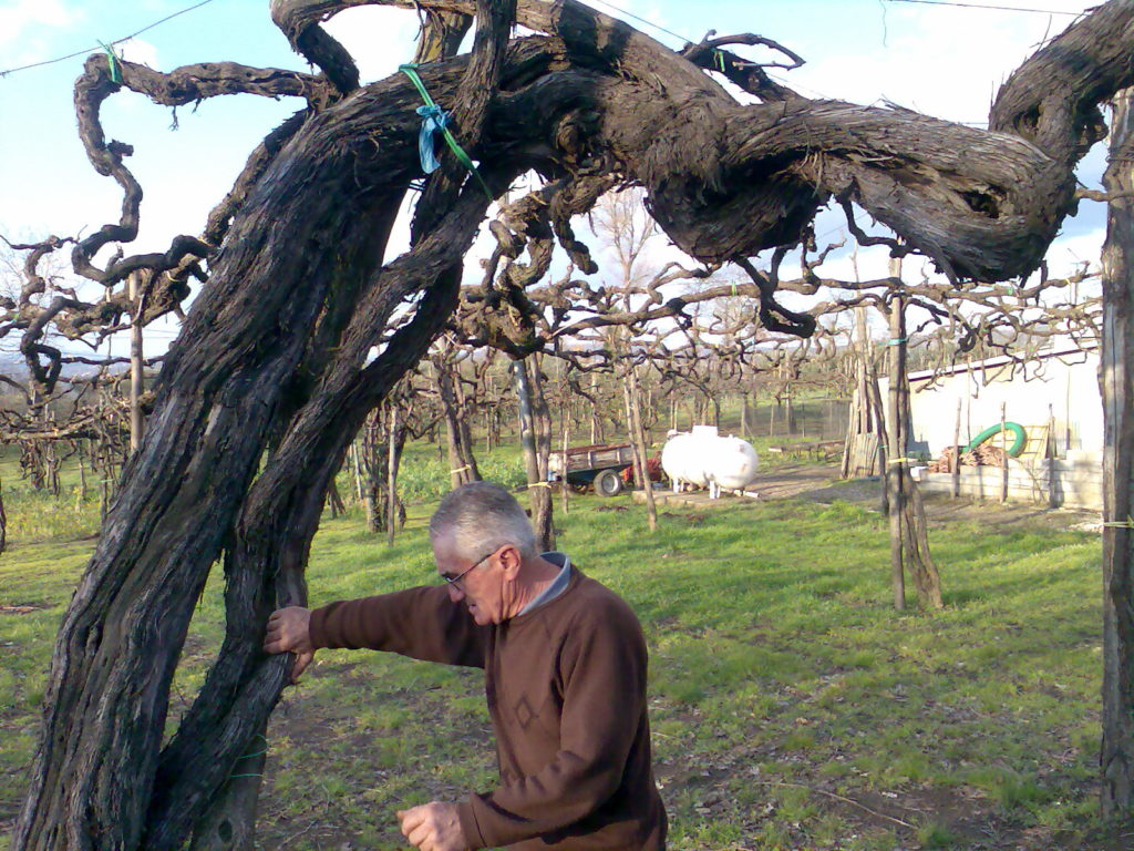 Vite secolare di Aglianico a Taurasi (www.vinotaurasi.it)