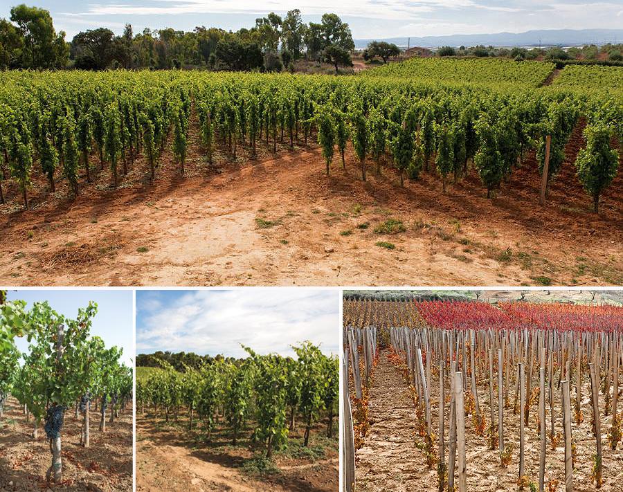 Azienda Agricola Daino. Filari di viti con impianto ad albrerello di nero davola con tutori in castagno
