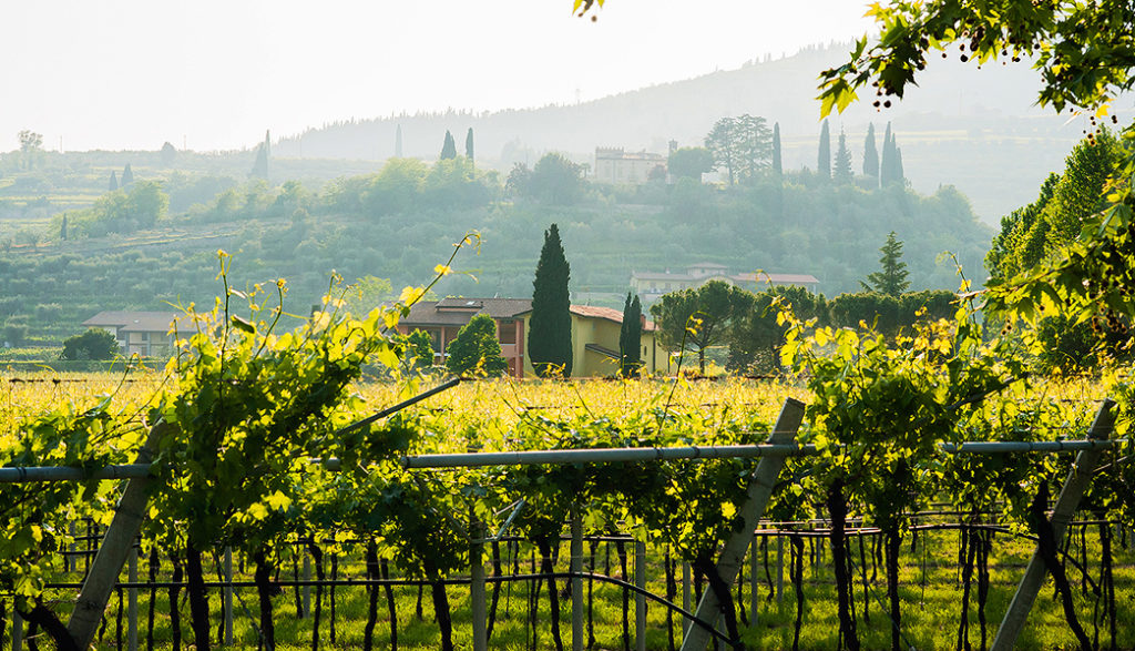 """The territories called """"Ronchiel"""" ,""""Mandolari"""", """"Bosco"""", """"Carpanè"""" """"La costa"""", and """"Tondin"""" as well as other smaller lots (all facing the south-east) have vines which are between 9 and 40 years old, aligning the plants in traditional rows and applying the pergola trentina (single or double) cultivation method, which permits a circa 3,000-plant-per-hectar density"""