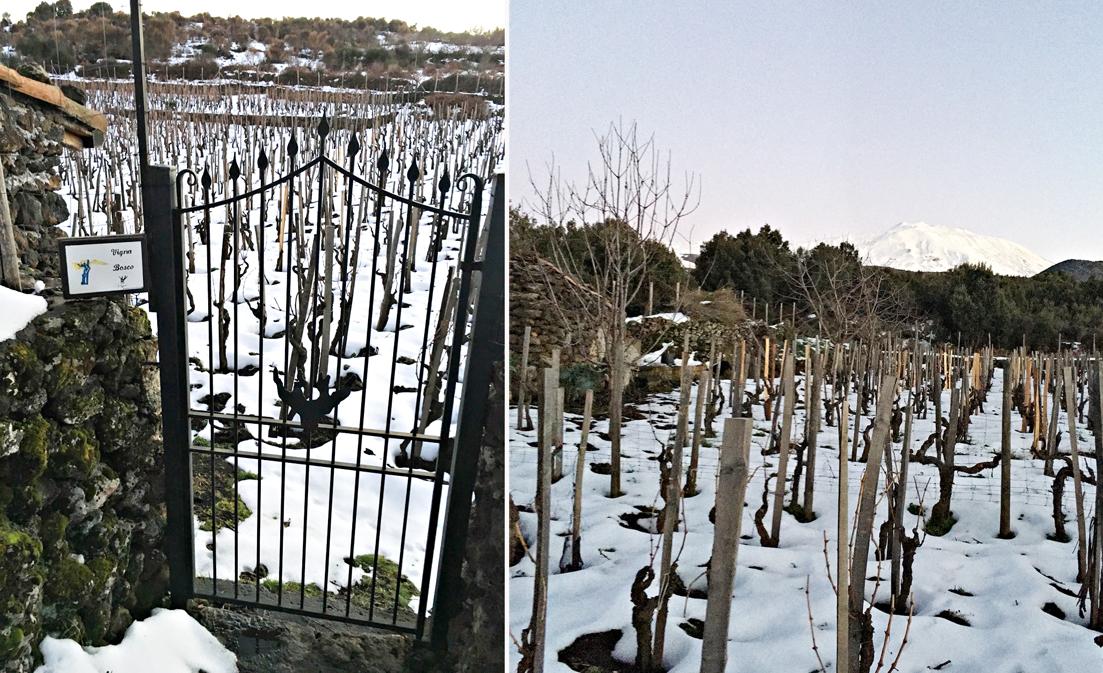 Vigna Bosco sull'Etna è uno dei vigneti più alti d'Europa, 1.300 m sopra il mare, con viti che hanno fino a 200 anni d'età
