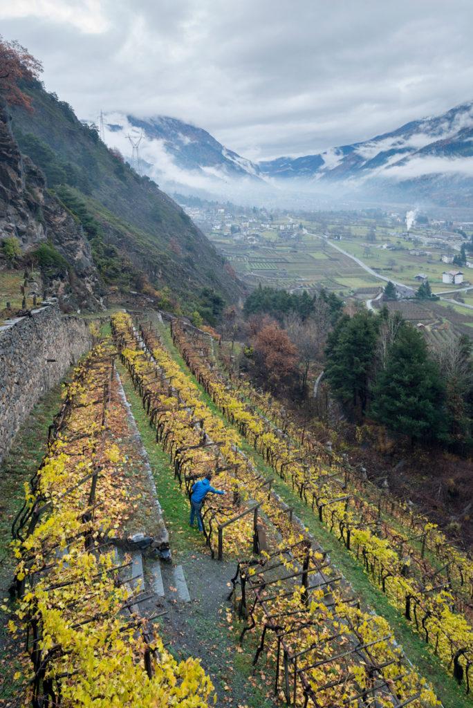 """Val d'Aosta - Morgex - Cave du Vin Blanc - Nicola del Negro, enologo e responsabile commerciale, controlla la vigna """"Piagne"""" di uva Priè Blanc"""