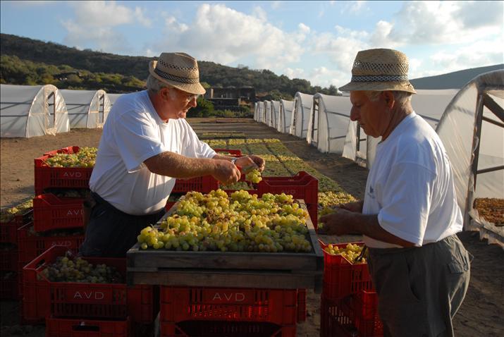 Preparazione e selezione dei grappoli destinati all'appassimento per la produzione del Ben Ryé. Foto di: Chris Warde Jones