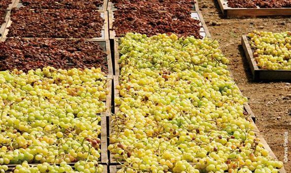 Le uve sono stese sui graticci per l'appassimento: in basso lo Zibibbo al suo stadio iniziale, in alto, i grappoli che hanno raggiunto il giusto grado di disidratazione. Foto di: Anna Pakula