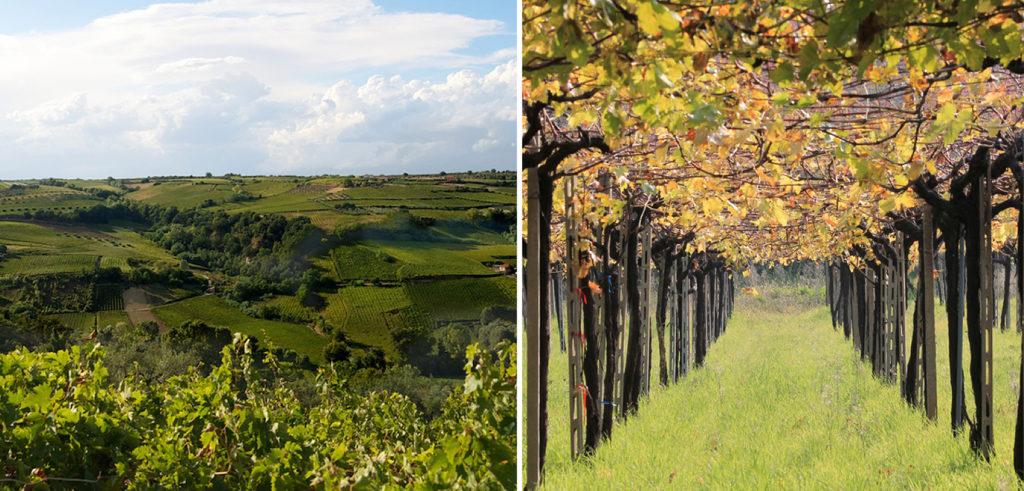 Cantina Tollo. Vigneti a pergola come giardini, che si estendono per oltre 3.000 ettari in un territorio ideale, da sempre vocato alla produzione vitivinicola.