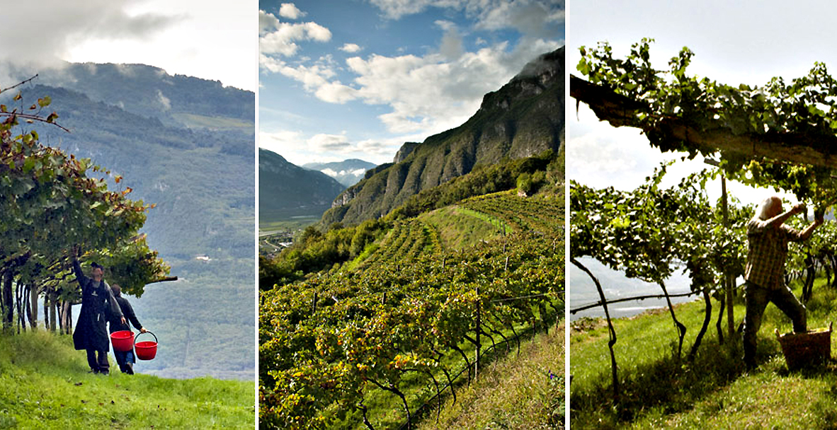 Trento, Cantine Ferrari, vista sui vigneti di montagna