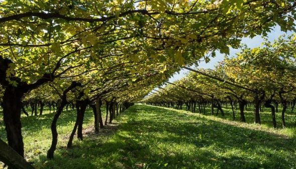 In Veneto nell'azienda agricola Roeno è ancora possibile trovare viti a piede franco sopravvissute alla Fillossera: due appezzamenti sono interamente di vitigni franco di piede le cui uve sono state utilizzate per creare l'edizione limitata di Enantio Riserva Terradeiforti DOC (nella foto il vigneto Enantio)