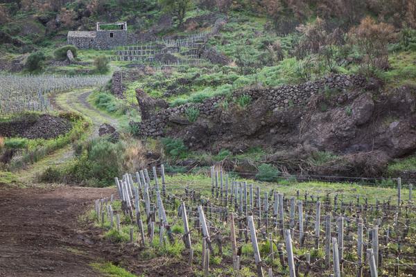 Etna, vigneti a passopisciaro situati-a 1000 metri slm